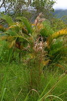 A palm growing in an old pasture in the mountains above Dominical, near Platinillo.