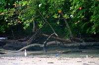 Birds in the sandflats between the beach and the Hotel Roca Verde, just south of Dominical.
